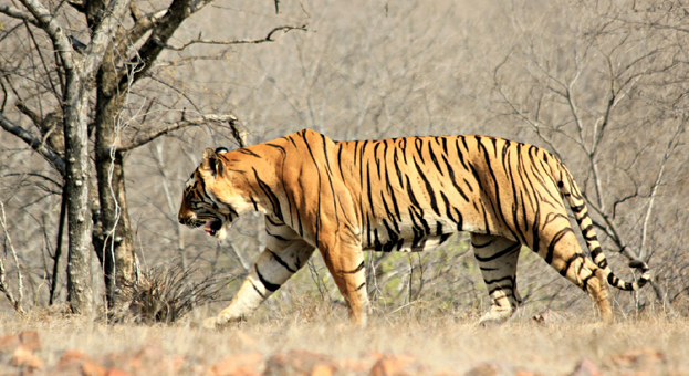 Tigers-to-be-shifted-from-Ranthambore