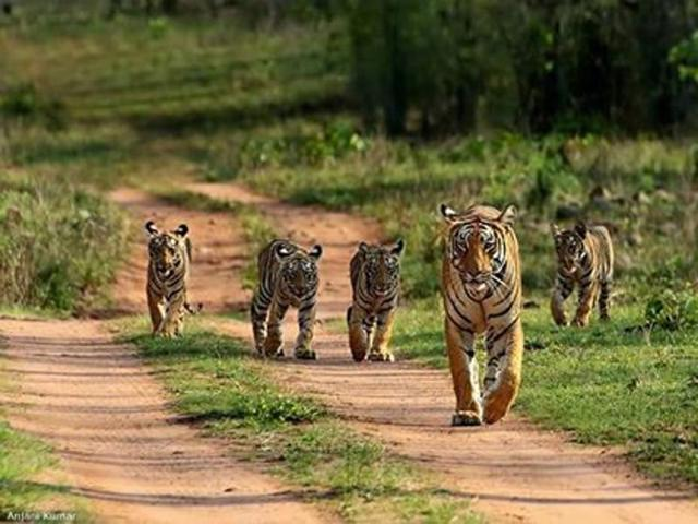 bandhavgarh-wildlife-officials-according-reserve-bandhavgarh-photographs_d7b70082-36de-11e6-9ae1-15e7618d0e32