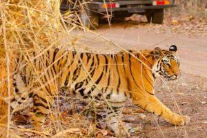 Voir les tigres en Inde : Bandhavgarh