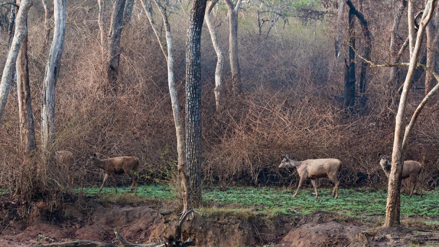 Visite du Parc National de Bandipur