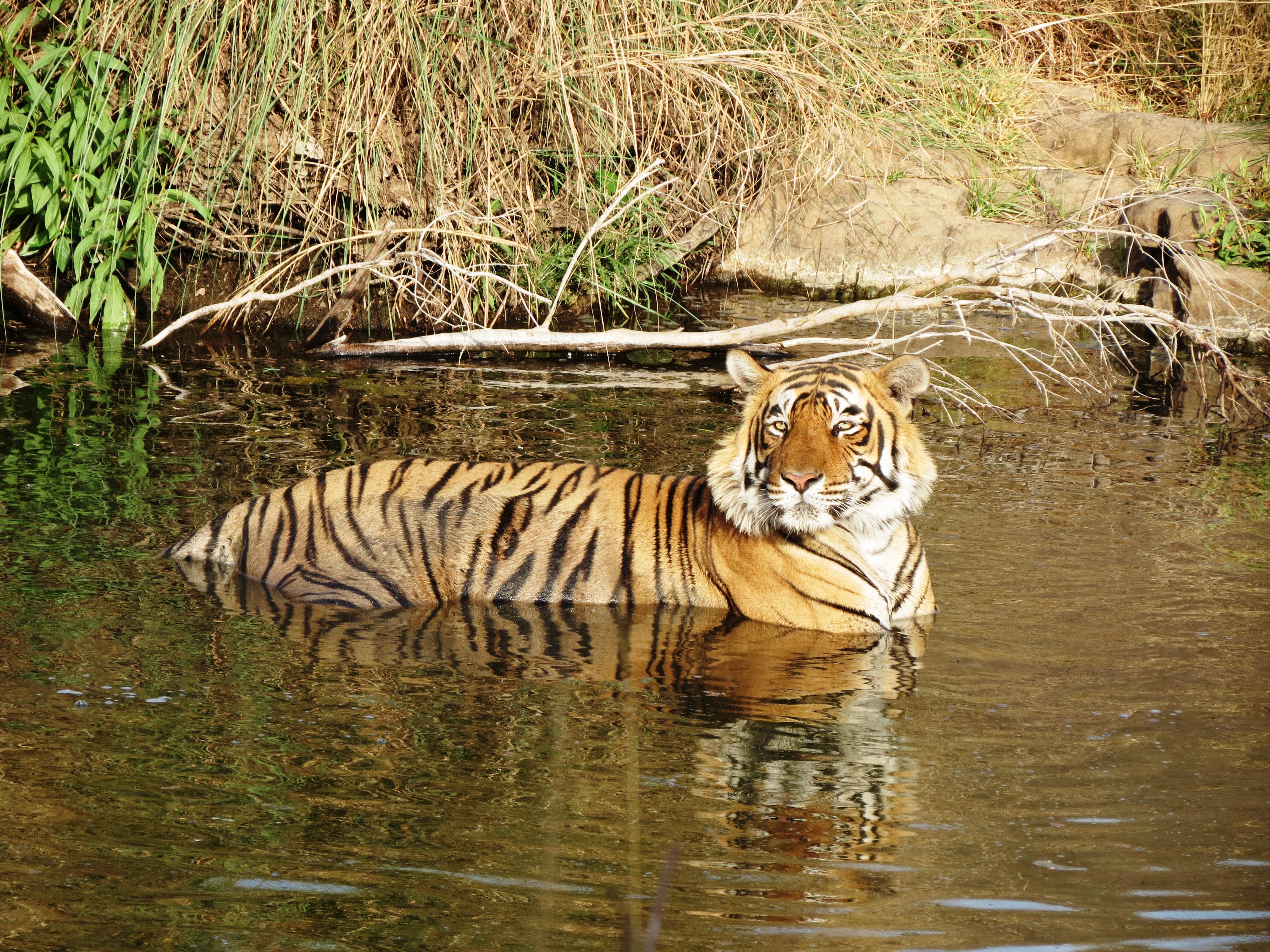 Voir les tigres en Inde