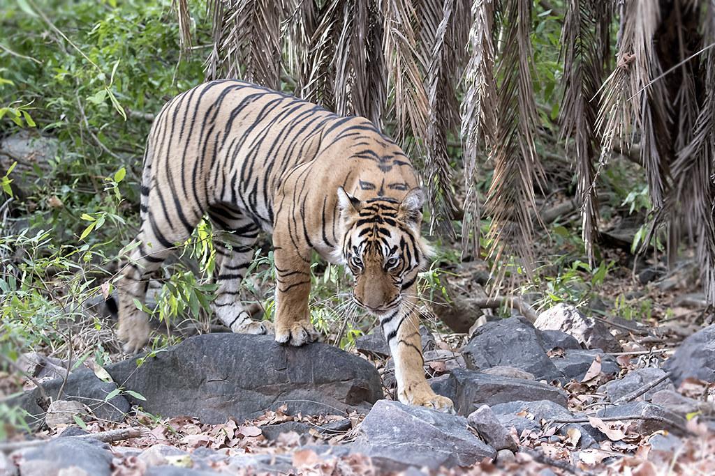 Visiter le parc National de Bandhavgarh
