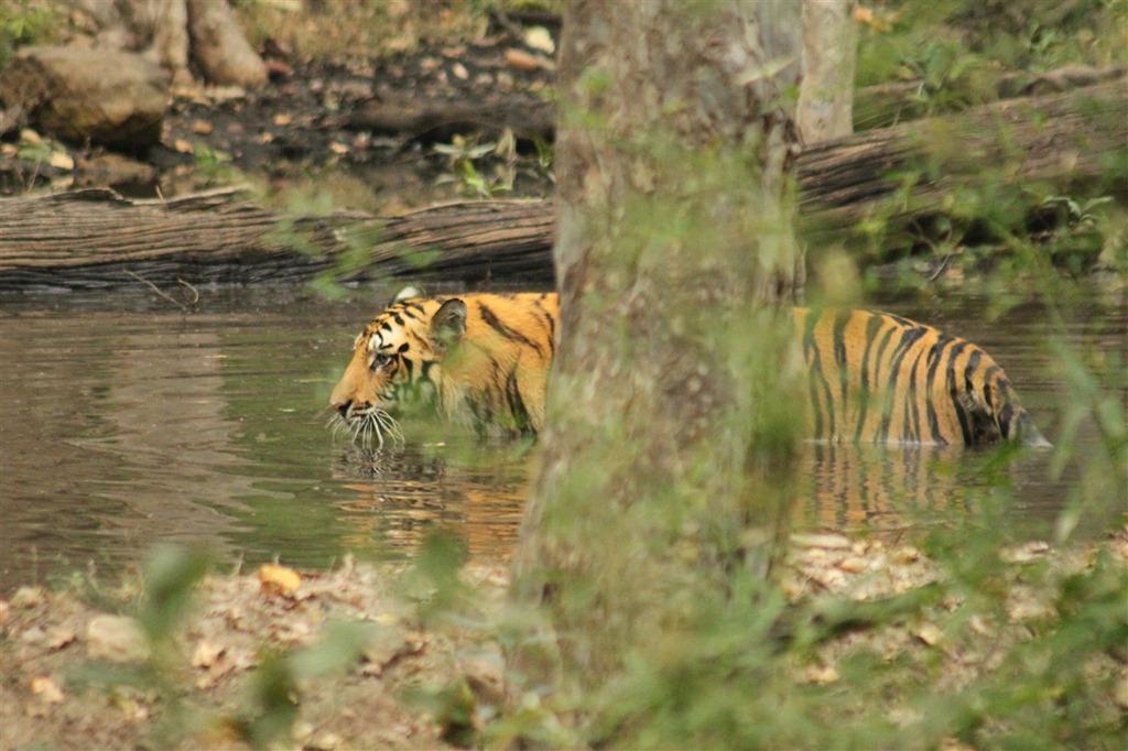 Tigre dans le parc