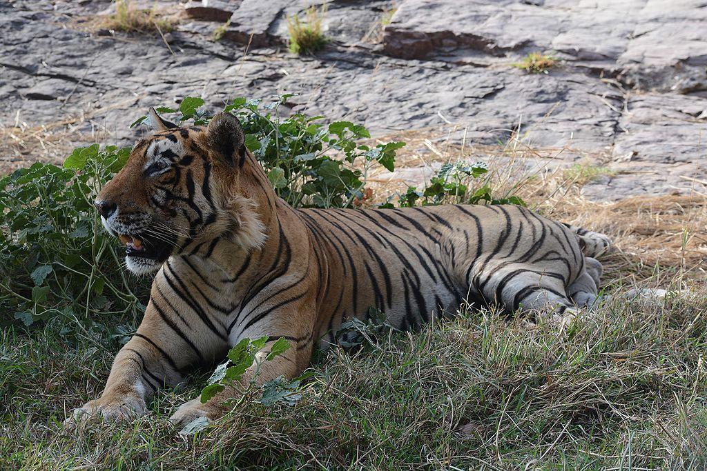 Visite au Parc national de Ranthambore