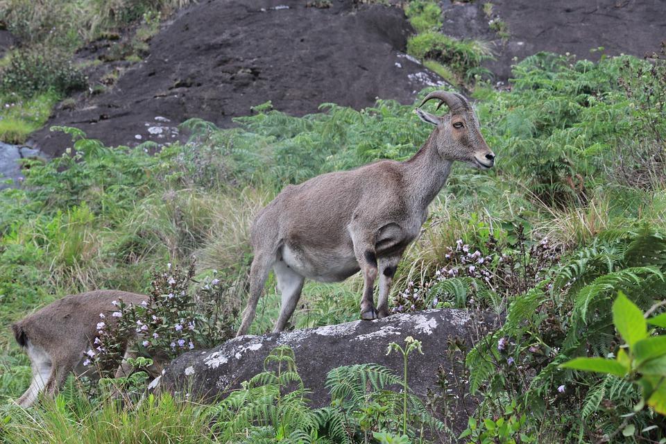 Nilgiri Tahr dans le parc national d'Eravikulam