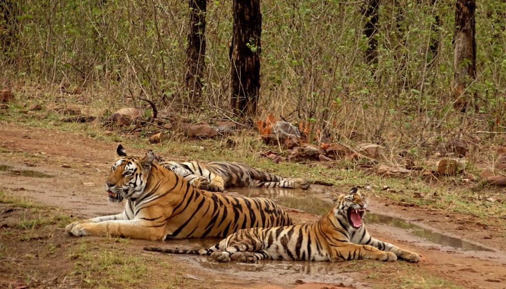 Tigres dans le parc national de Panna